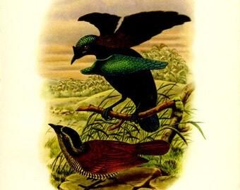 Vintage Bird Print, Lesser Superb Bird of Paradise, Plate 4, Ornithology, Natural History, 1948, John Gould