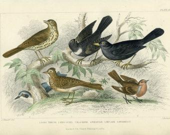 Antique, Rare, 1870 Goldsmith, Song Thrush, Ring Ouzel, Blackbird, Wheat-ear, Skylark, Rebreast,Hand Colored (58) Engraving