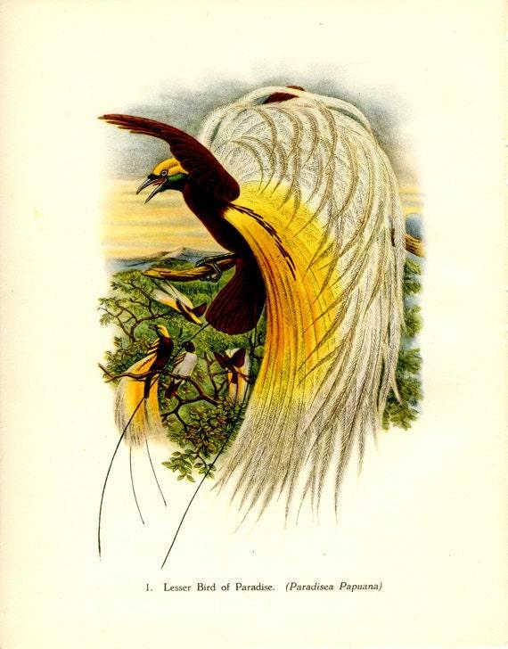 Vintage Bird Print, Lesser Bird of Paradise, Plate 1, Ornithology, Natural History, 1948, John Gould