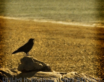 Crow on a beach fine art photography - crow picture - crow art -birds photography - black crow - beach photography - crow photo