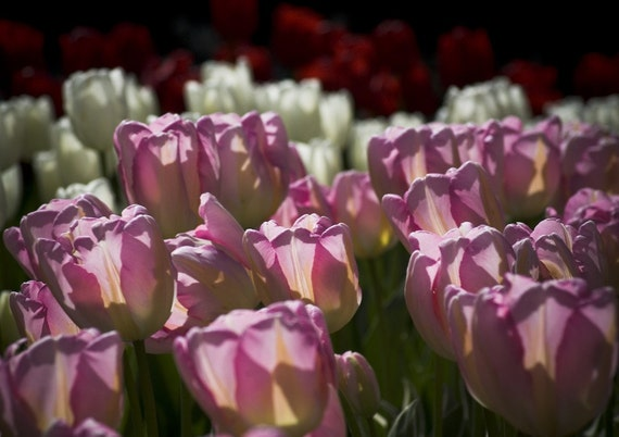 Pink Tulips Photo Greeting Card Blank - Nature Photo Card - Flower Card - Garden Card - Tulip Festival Photography Card