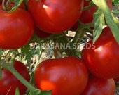 Heirloom Silvery Fir Tree Tomato Seeds