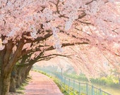 pink trees  cherry blossom photograph 8x8 fine art print