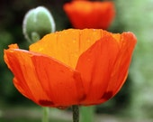 bright poppy  5x7 fine art photo