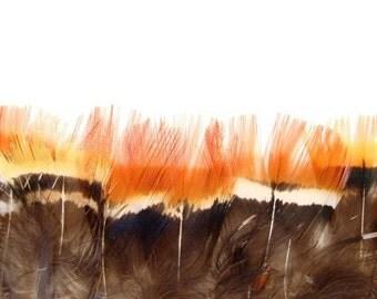 12 Golden Pheasant Plumages, Strung.