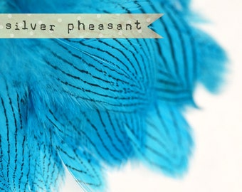 20-30 pcs - Silver Pheasant Feathers Strung - Silver Blue