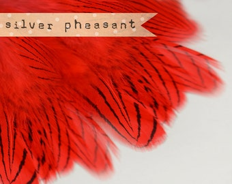 20-30 pcs - Silver Pheasant Feathers Strung - Red