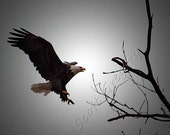 Bald Eagle Landing 8x10 Color Print -Unmatted