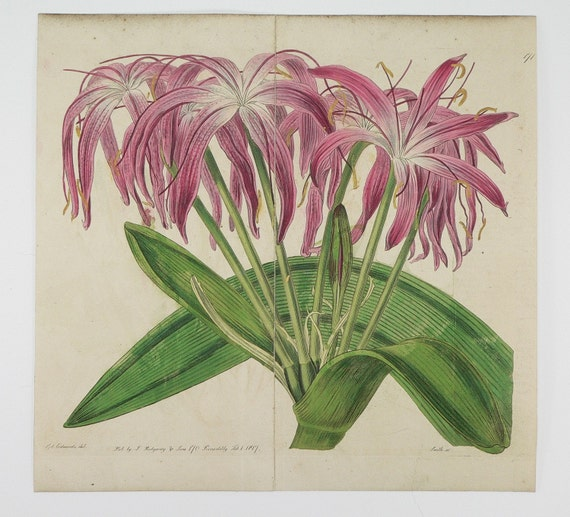 Mr Herberts Crinum Lily Flower 1817 Original Antique Edwards Hand-colored Copperplate Botanical Engraving