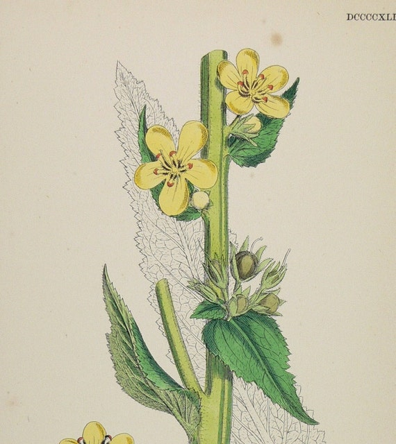 1866 Antique Botanical Flower Color Print Yellow Large flowered Mullein