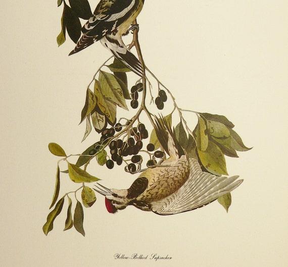 Vintage 1940s Audubon Color Bird Print Yellow-Bellied Sapsucker