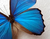 Big Blue Butterfly the Morpho Mounted  in Black Display