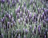 Lavender Fields by Adrienne Frankenfield - matte photographic print - 8x10