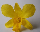 30 Real Orchids for Hair Pins, Favors, Wedding Cake, Yellow