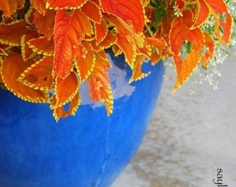 Cobalt Sapphire Blue Brilliant Autumn Orange Vibrant Plant Vase Photograph Photography Art Gift Green Yellow White Baby's Breath