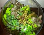 RESERVED FOR DEBBIE Fish Bowl Round Glass Bromelaid Terrarium