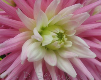 Pink Dahlia Note Card