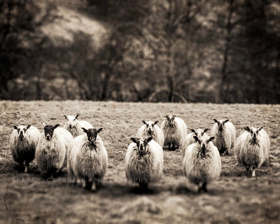 Sheep photography black and white nature photograph home - Wall decor photography ...