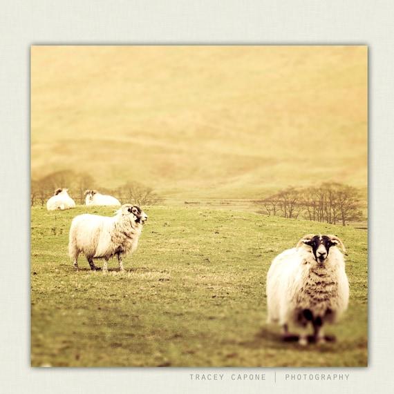 Sheep Wall Art Home Decor ~ Sheep photography scottish countryside art by