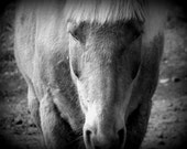 IN STOCK, 40% OFF - 5x7 Horse Photograph - animal farm country portrait rural folk black white gray photo art print home decor