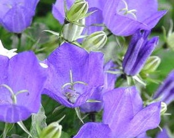 Canterbury Bells or Bellflower (Campanula) seeds