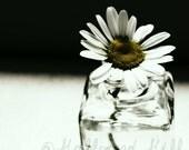 Tiny Daisy 6x6 photograph