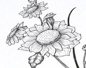 Sun Flower Pen and Ink Original Drawing