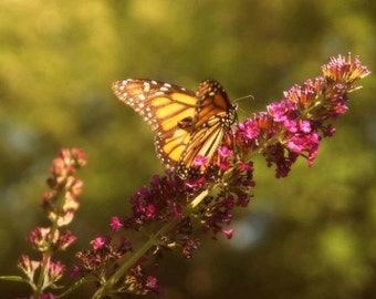 Butterfly photograph- Warm summer afternoon visitor fine art print