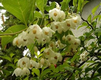 Japanese Snowbell Tree Seeds (Styrax japonicus)