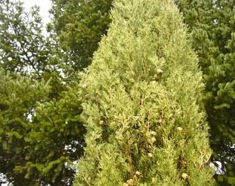 Italian Cypress Tree Seeds (Cupressus sempervirens)