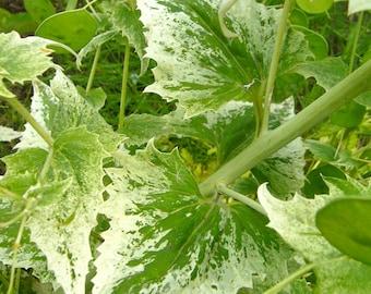 Variegated Silver Dollar Seeds (Lunaria annua 'variegata')