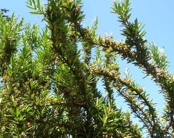 Rosemary Seeds (Rosmarinus officinalis)