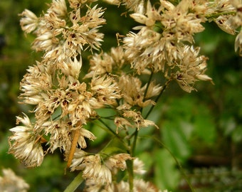 Snowy Woodrush (Luzula nivea)