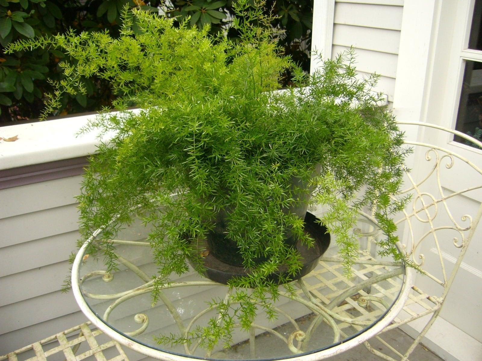 Asparagus fern 39sprengeri39 seeds asparagus for Fern house plant seeds