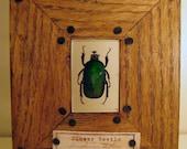 Insect Specimen Frame - Flower Beetle