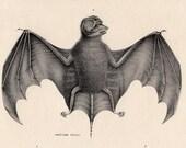 bat antique 1824 original print in profile