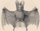 1824 bat original antique print cute and smiling beast