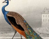 1861 peacock rare antique french bird engraving