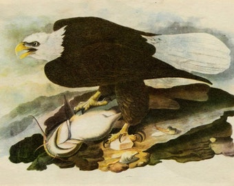 1950 BALD EAGLE LITHOGRAPH - audubon original vintage print 1950