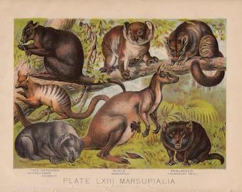1880 KANGAROO KOLALA WOMBAT lithograph - original antique print - wild life mammal zoology lithograph - animal habitat Australia