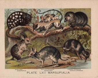 1880 OPOSSUM bandicoot lithograph - original antique print - wild life mammal zoology lithograph - animal habitat