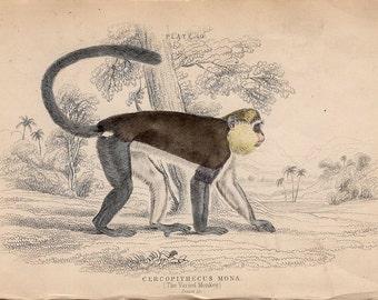 1833 MONKEY PRIMATE PRINT original antique animal engraving - varied monkey