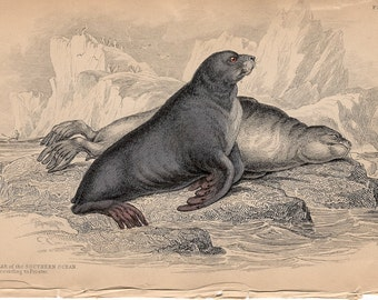 1833 ANTIQUE SEAL ENGRAVING original antique sealife print - sea bear seal