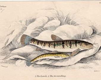 1836 fish original antique sea life ocean print of the loach and groundling