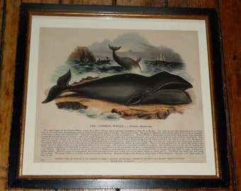c. 1842 FRAMED WHALE antique lithograph - original antique sea life ocean print of the common whale
