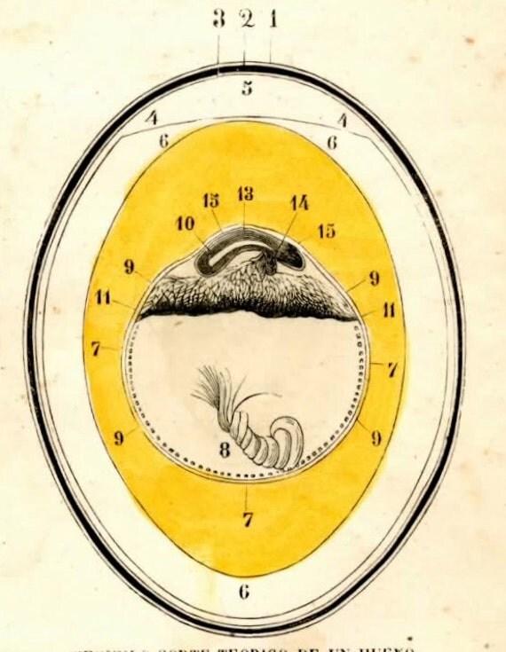 1852 egg anatomy original antique print no 1
