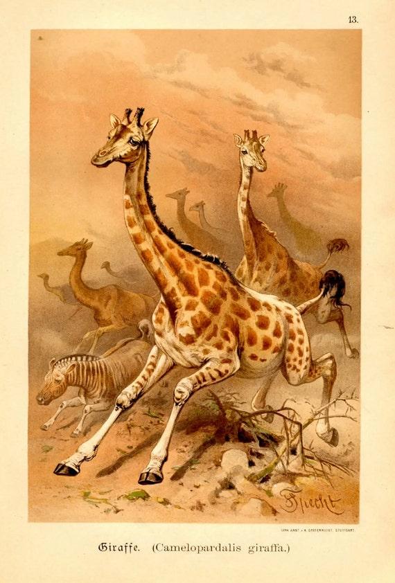giraffe 1894 antique print original lithograph