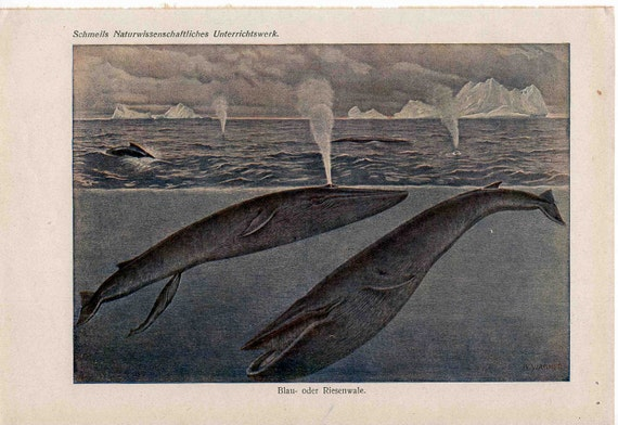 1900 whales and icebergs original antique sea life ocean print of blue whales