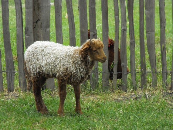 Hungarian Racka Handspun Yarn CSA (Community Supported Agriculture) - 2010 Share