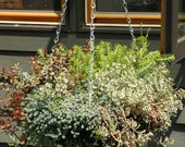 U-Choose, 3 Sedum  Plants, A Colorful Cold Hardy Collection Cold hardy collection